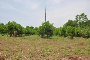 Acacias et Manioc